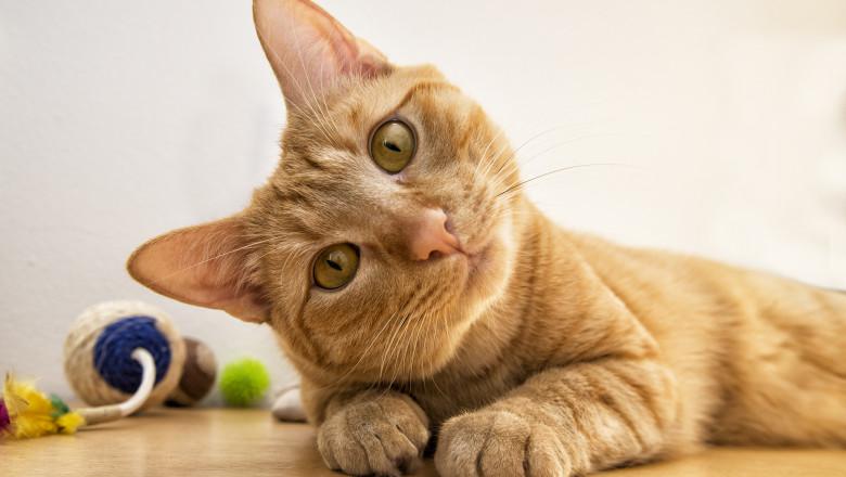 pisica felina