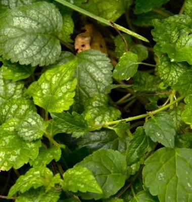 Plante-Urzica-moarta-galbena-2.jpg