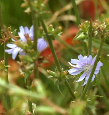 Plante-Cicoarea-1.png