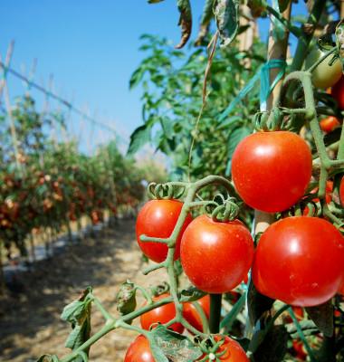 Tomatoes-jpg.jpg