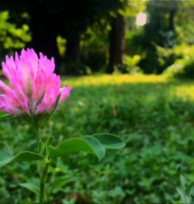 Trifoi-rosu-5.jpg