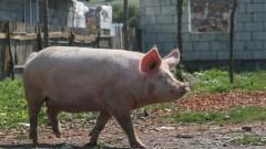 porc la tara curte brasov_shutterstock_587611568