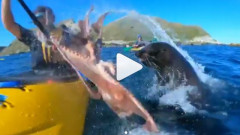 foca caracatita caiacist