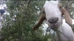 caprele