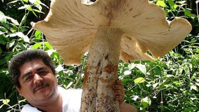 ciuperca-uriasa