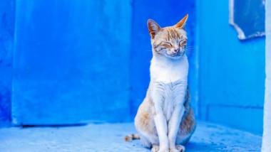 pisica maroc_shutterstock_1157902732