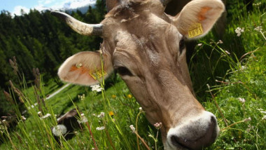 Cows Eating Grass In Switzerland
