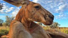 cangurul-roger-The Kangaroo Sanctuary Alice Springs