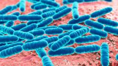 Probiotic bacteria Lactobacillus