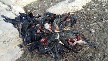 cormorani morti