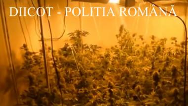 cannabis diicot