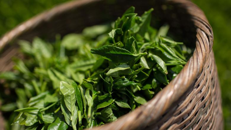 Farmers Handpick First Tea Of Season In Shizuoka