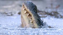 aligatori carolina de nord