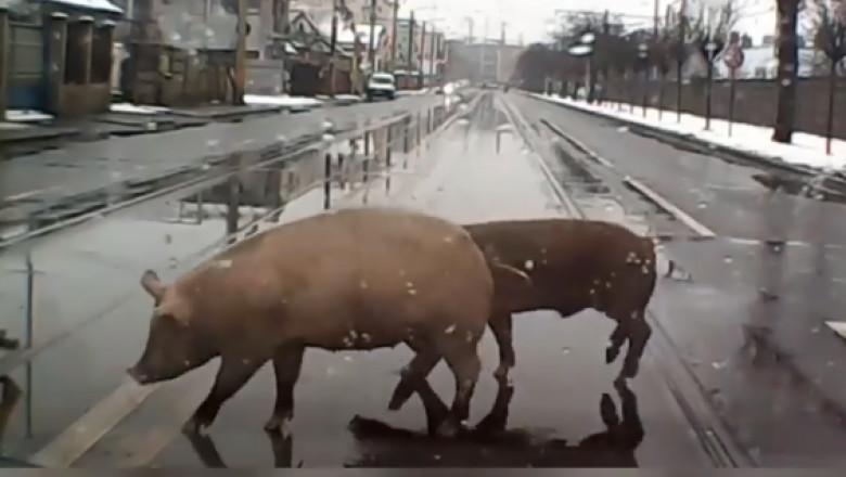 porci-traverseaza-strada-cluj