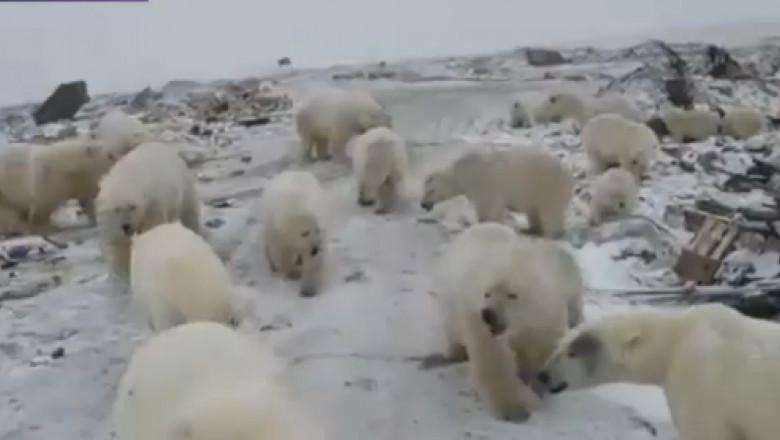 ursi polari rusia