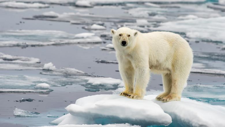 urs polar incalzire globala