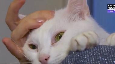 pisica mangaiata