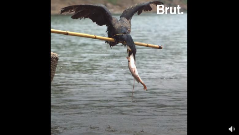pescuit cu cormorani