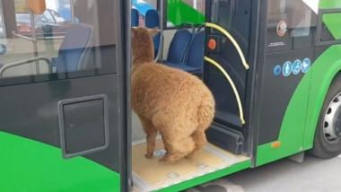 pablo the alpaca - marian godina
