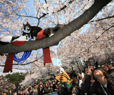Cherry Blossoms Are In Full Bloom In Tokyo