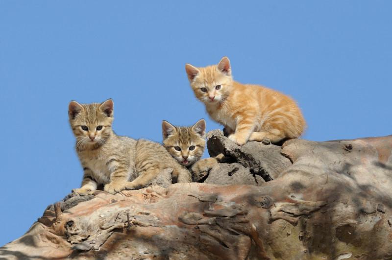 pisici-salbatice-australia-shutterstock_780034048