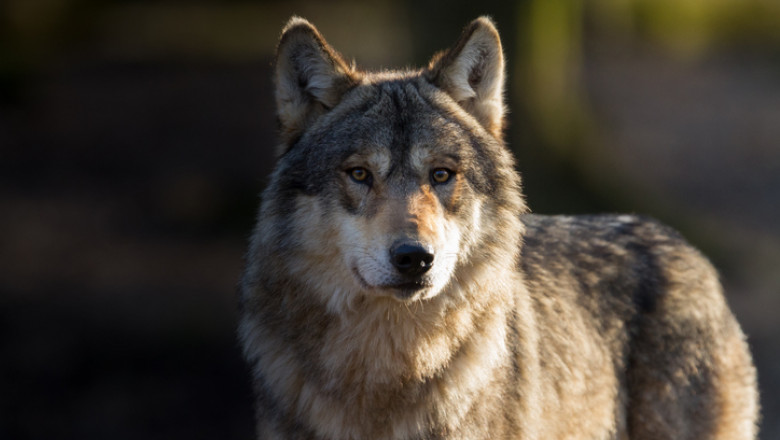 Loup gris - Grey wolf