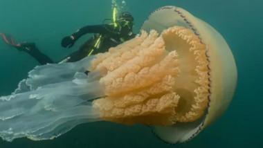 meduză uriașă