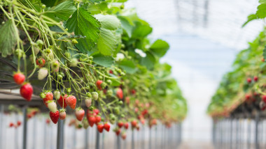 Ripe and underripe strawberries on the tree