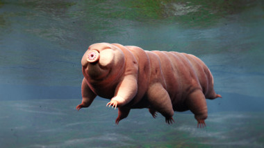 tardigrade, swimming water bear