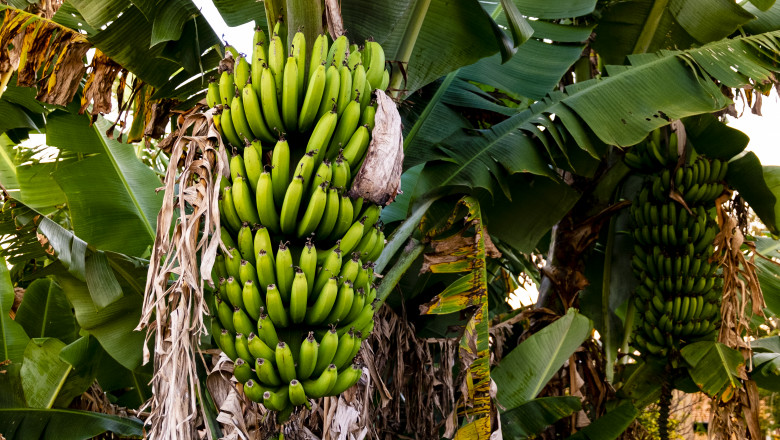 Banana tree with bunch of growing ripe green bananas, plantation rain-forest background