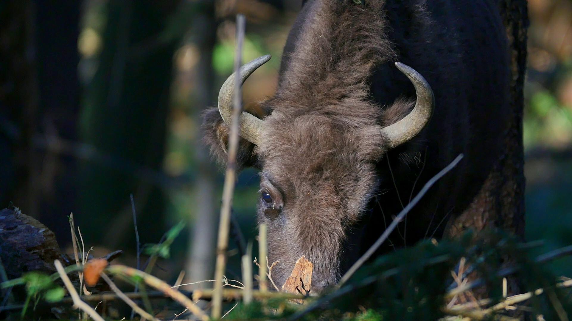 Natura Umana (4). Romania, una dintre putinele tari din lume in care traiesc liberi zimbri