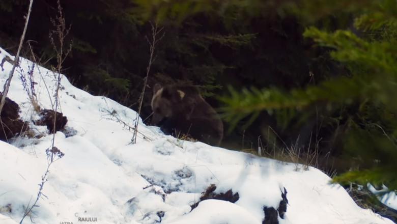 ursulet - captura video
