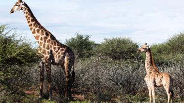girafe pitice