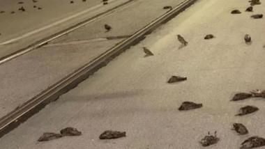 Imagini cu mii de păsări moarte pe asfalt sau incapabile să mai zboare din cauza focurilor de artificii din centrul istoric al Romei.