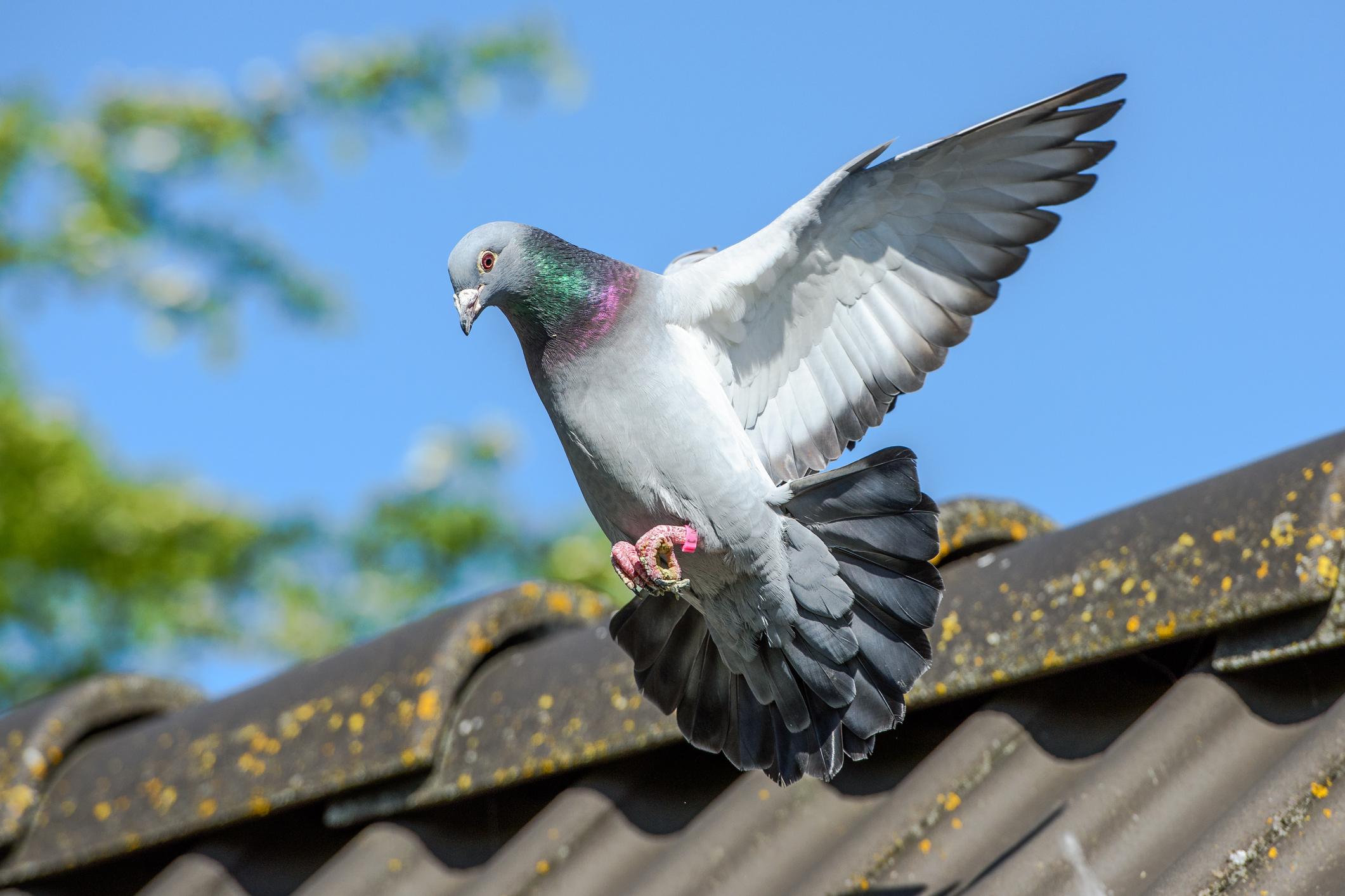 Un porumbel a supraviețuit unei călătorii extraordinare de 13.000 de kilometri. Acum, autoritățile din Australia vor să-l omoare
