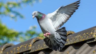 Un porumbel a supraviețuit unei călătorii extraordinare de 13.000 de kilometri