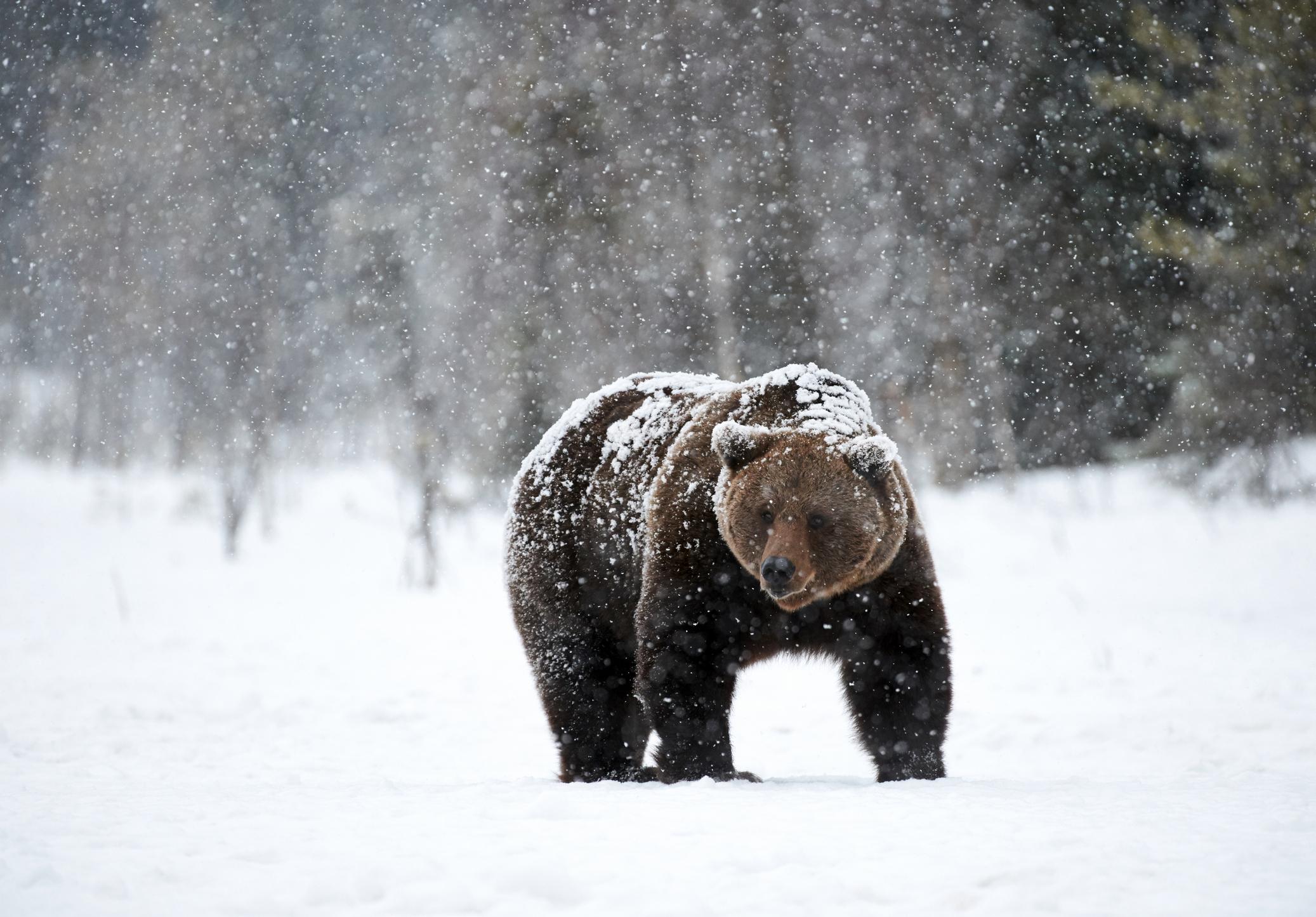 Urs surprins într-o ipostază amuzantă, în Munții Retezat. Specialiștii Romsilva l-au numit Baloo