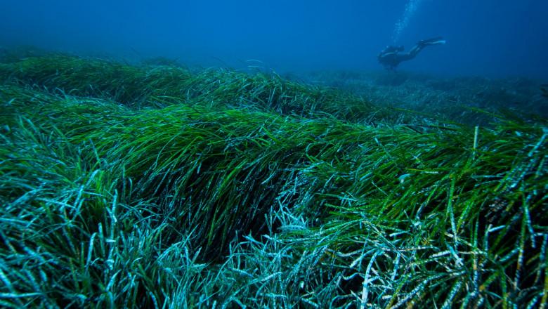 iarbă-de-mare
