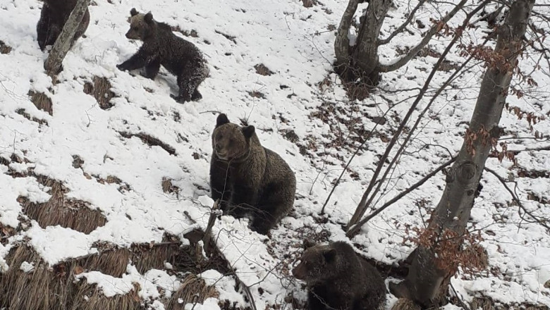 ursi transfagarasan
