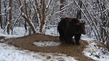 Un ONG a făcut publice imagini emoționante cu un urs care se plimbă în cerc într-o rezervație unde a fost adus după 20 de captivitate la Grădina Zoologică Piatra Neamț.