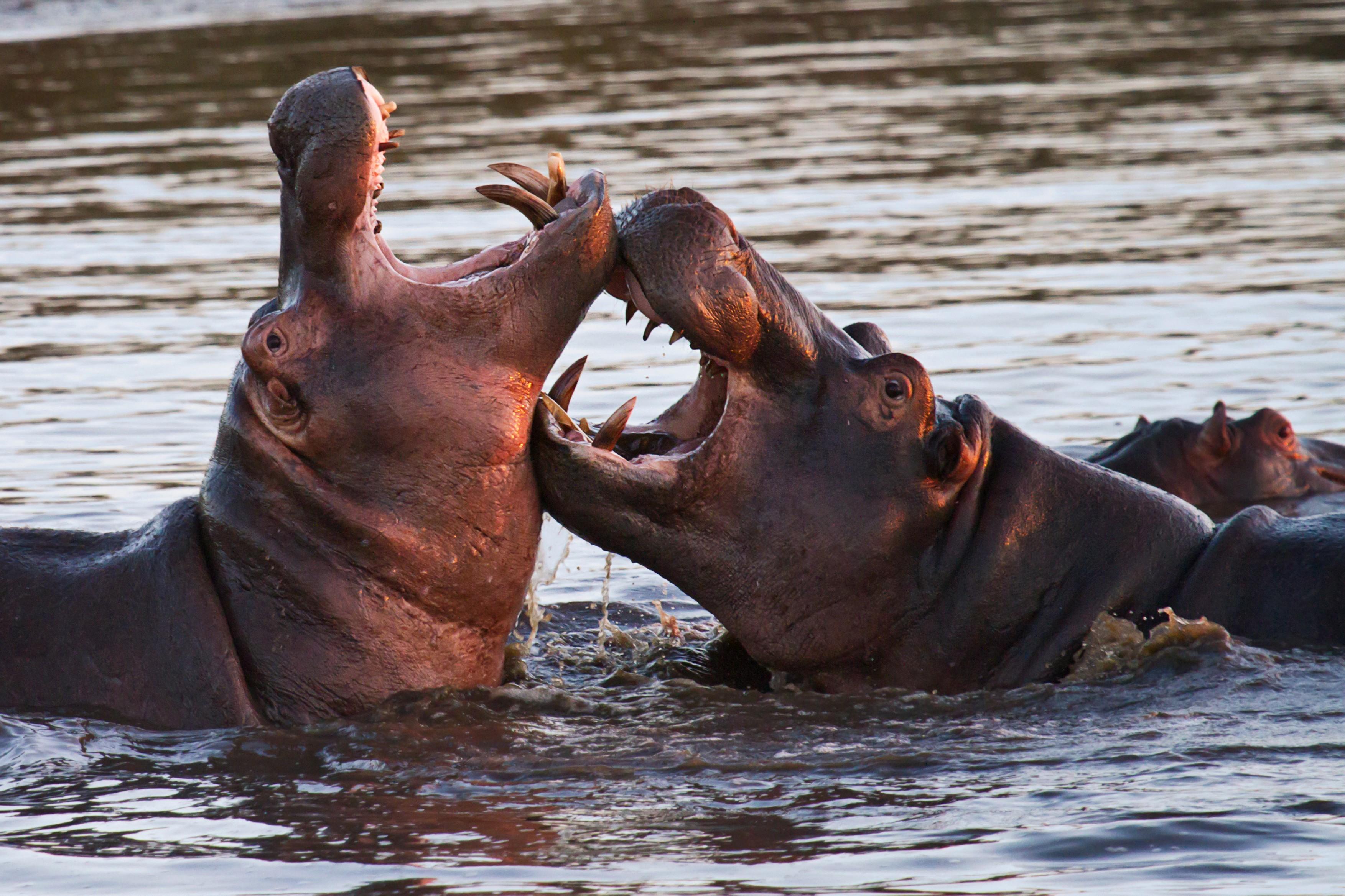 Cum au ajuns hipopotamii lui Pablo Escobar sa fie recunoscuti legal ca oameni de catre un tribunal american