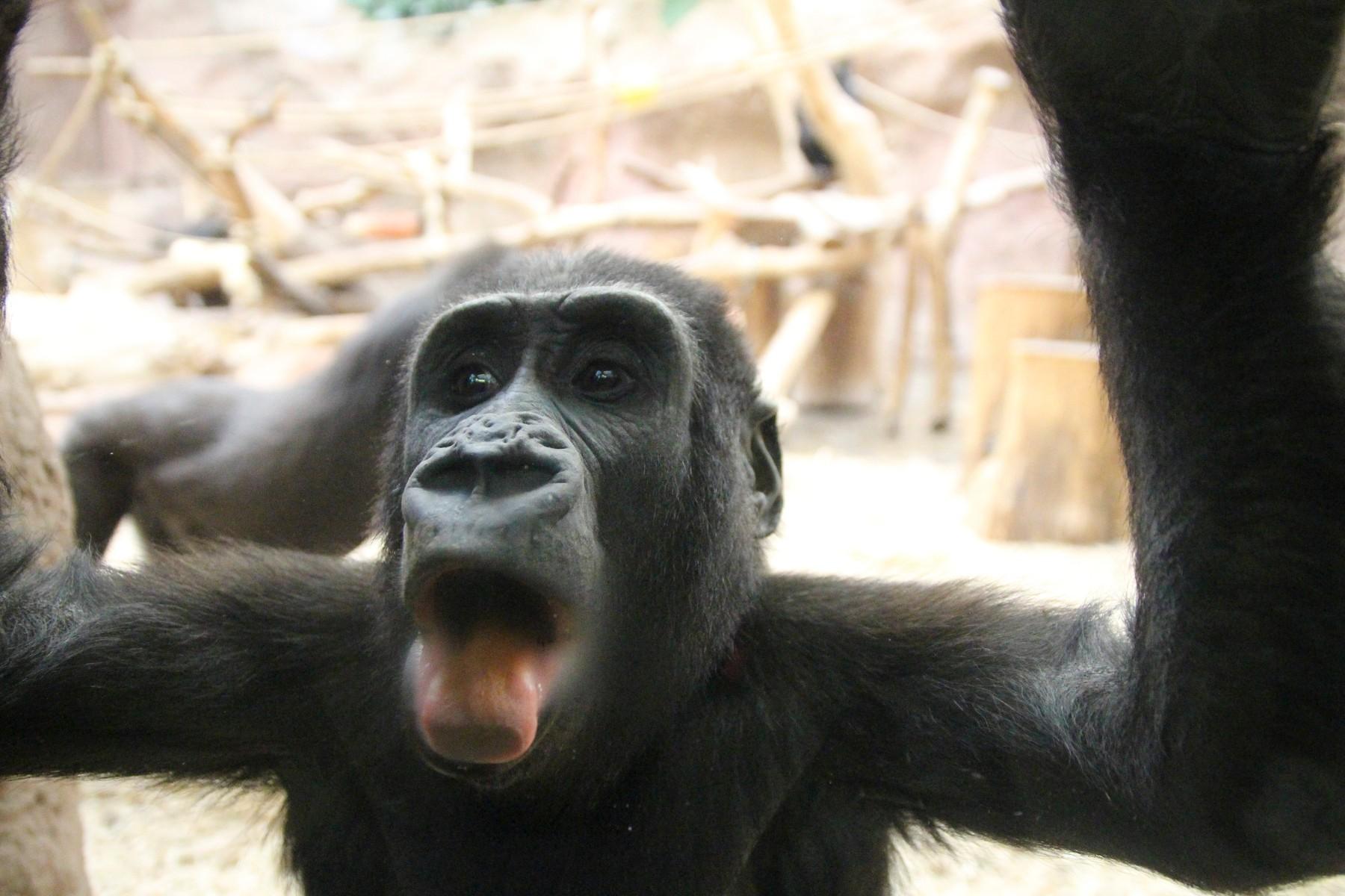 Doua gorile de la o gradina zoologica din California, testate pozitiv cu COVID-19. Cum se manifesta boala la ele