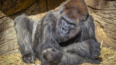 Gorilla Troop at the San Diego Zoo Safari Park Test Positive for COVID-19