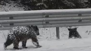 ursi pe drum iarna