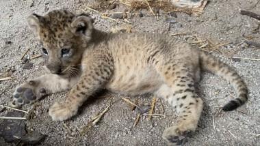 VIDEO. Primul pui de leu conceput prin inseminare arficială care s-a născut la Zoo din Singapore. Îngrijitorii l-au numit Simba