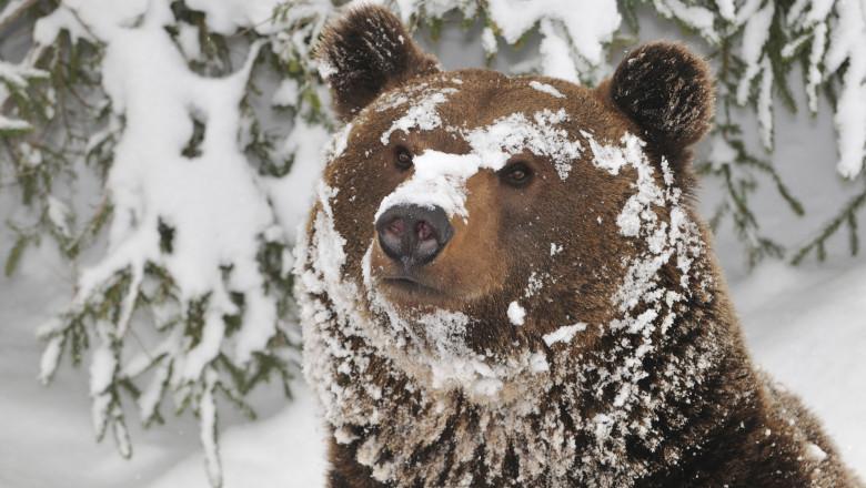 urs acoperit cu zapada