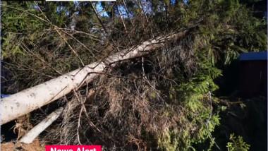 copac cazut suceava