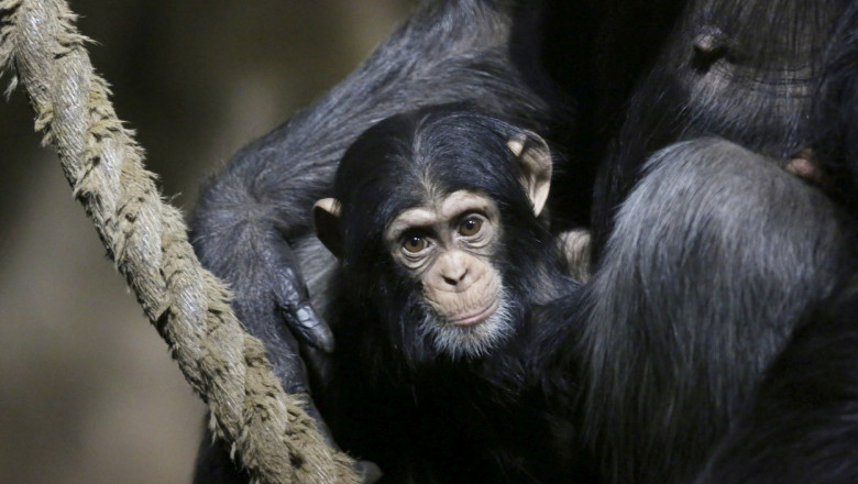 pui-cimpanzeu