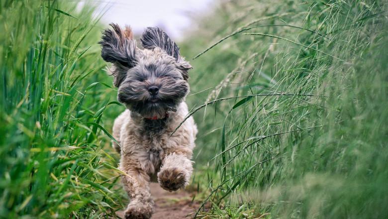 Small Hairy Dod running Through Field