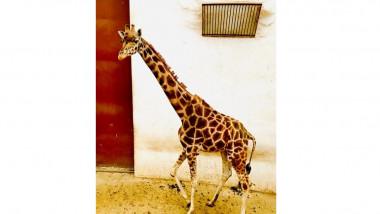 girafa gina - fb tg mures